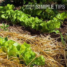 HomeDepot.com/Garden Club: Help Veggies Survive Dry Spells  - The heat is on and your vegetable garden may start to suffer. Veggies need at least an inch of water every week to thrive. When nature isn't playing nice, you need to take matters into your own hands.
