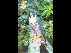 Ragadozó madarak és hangjuk 3 Bird, Youtube, Animals, Animales, Animaux, Birds, Animal, Animais, Youtubers