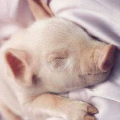 teacup pigs are so cute! Baby Pigs, Pet Pigs, Baby Goats, Cute Piglets, Teacup Pigs, Mini Pigs, Little Pigs, Cute Baby Animals, Farm Animals