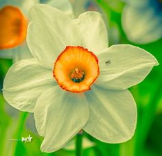 Narcissus & guest by Maurizio Di Renzo on Amazing Flowers, Garden Paths, Branches, Flora, Inspiration, Image, Collection, Plants, Biblical Inspiration