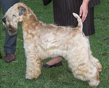"""This is the breed we have, except we keep his coat shorter and he has a little nub tail...aka """"wiggle nubs"""""""