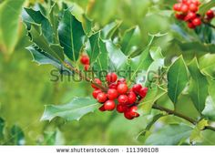 holly plant - Google Search