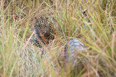 Leopard Guards Pangolin, Linyanti Concession, Botswana