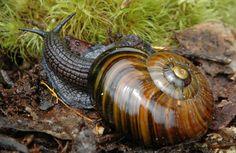 Powelliphanta patrickensis snail.