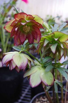 """Helleborus """"Harlequin Gem""""; evergreen perennial that grows in part to full shade. Great for a border plant. Drought tolerant. Blooms in early to late spring. Zones 5-8."""