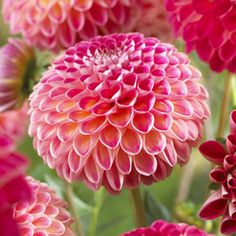 Dahlia Kenora Fireball  Flowers June-Oct.  Lift tubers and store in cool peat substitute over winter.