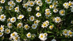 Popular species include Anthemis Tinctoria which is a busy annual with golden yellow flowers and Anthemis Cupaniana which is a profuse summer bloomer with 'cushion-forming' white flowers. It is also known as Camomile and is used in traditional herbal medi