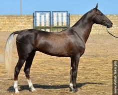 Akhal-Teke Gurdykhan (Nart - Gozel; Farukh). Claimed to be a dark palomino and definitely can be one, as both parents are palominos. This is a very, very dark one, though.