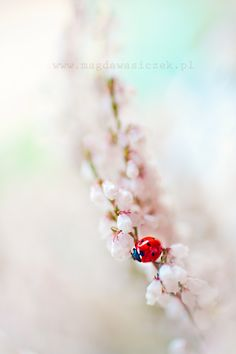 ♀ Bokeh photography flowers insects Red point ladybugby Magda Wasiczek