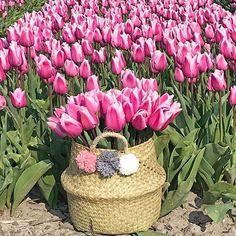 Pink tulips in a pompon basket! Time to order your tulip bulbs now for a spring garden full of flowers Planting, Gardening, Tulip Bulbs, Pink Tulips, Flower Farm, Spring Garden, Spring Flowers, Basket, Tulips