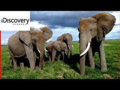 Full Documentary Offical ( 2017)  Elephant Wildlife - BEST Africa Wildlife Documentary BBC Animal P - YouTube