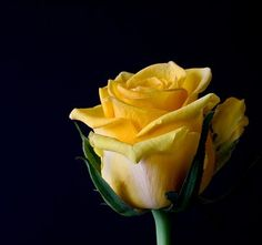 Rose Bloom, Flowers, Plant, Roses