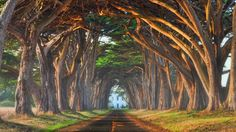 Natural tree tunnel, Portugal