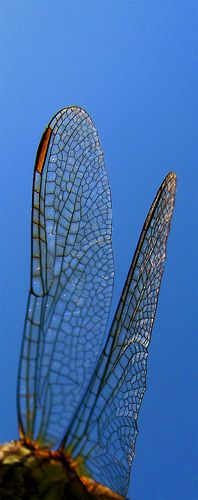 Dragonflies remind me of angels! I am memorized by their wings!