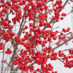 Berry Poppins™ - Winterberry - Ilex verticillata plant with Mr Poppins