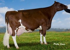 Red Holstein | Red And White Cows White holstein cattle, red