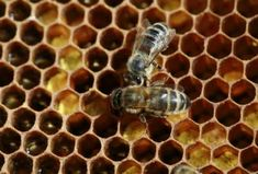 5 Honey Bees to Consider, Including Buckfast Bees - Backyard Beekeeping