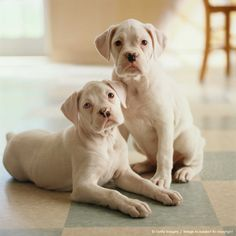 What's better than a one boxer pup? Two boxer pups! White Boxer Puppies, White Boxers, Boxer And Baby, Boxer Love, I Love Dogs, Cute Dogs, Awesome Dogs, Dog Training, Training Tips