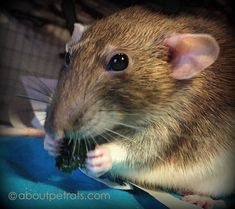 Since rats can gain weight easily---AND we want to feed them the best foods…