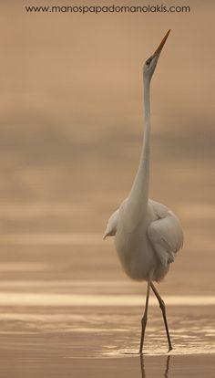 Great Egrets Lacy Courtship Birdnote >> 94 Best Birds Images In 2016 Exotic Birds Beautiful Birds Pretty