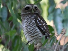 White-browed Owl Madagascar, Highlights, Owl, Tours, Animals, Animales, Animaux, Owls, Luminizer