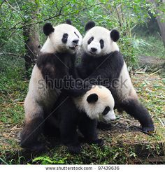 Giant Panda Bears Playing Together Stock Photo 97439636 : Shutterstock