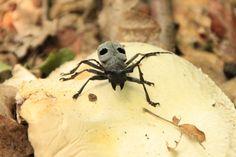Morimus funereus beetle, Cerambycidae - Public Domain Photos, Free Images for Commercial Use Public Domain, Beetle, Free Images, Insects, Commercial, Photos, Animals, Longhorn Beetle, June Bug