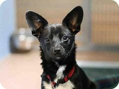 San Diego, CA - Chihuahua Mix. Meet A1659485, a dog for adoption. San Diego County Department of Animal Services -http://www.adoptapet.com/pet/13270706-san-diego-california-chihuahua-mix