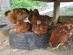 Dust Bath Ideas for Your Chickens – The Owner-Builder Network Dust Bath For Chickens, Raising Backyard Chickens, Urban Chickens, Backyard Chicken Coops, Chicken Garden, Keeping Chickens, Pet Chickens, Keeping Ducks, Bantam Chickens