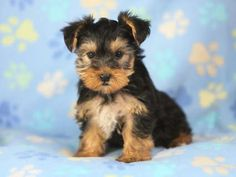 Hoobly: Happy Yorkie Puppies