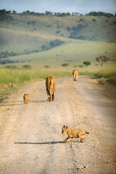 Lion Cub and Shadow