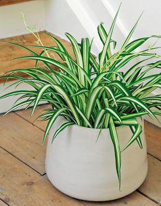 Zimmerpflanzen f r dunkle r ume geeignet pflanzen pinterest dunkle r ume zimmerpflanzen - Zimmerpflanzen dunkel ...