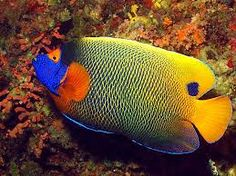 Image result for saltwater angelfish