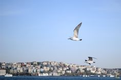 Seagull flying over the Bosphorus ! August 2015 #canonD600 Mouette survolant le Bosphore ! Août 2015