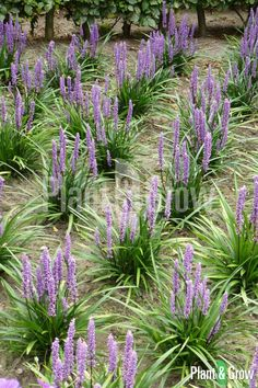 Beach Landscape, Landscape Design, Garden Design, All Plants, Garden Plants, Alocasia Plant, Liriope Muscari, Partial Shade Plants, Holland