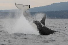 Center for Whale Research 2015 Encounters - J27 Blackberry, Wow!