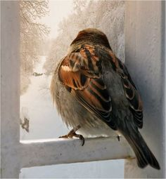 Sparrow - window with a view of winter wonderland Small Birds, Little Birds, Pet Birds, Beautiful Birds, Beautiful Pictures, Sparrow Nest, Animals And Pets, Cute Animals, Photo Animaliere