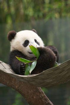 Baby Panda Eating Bamboo Leaves