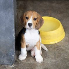 Cute beagle puppy dog sitting on the flo. Beagle Puppy, Chihuahua Puppies, Dogs And Puppies, Mans Best Friend, Best Friends, Dumb Dogs, Cute Beagles, Cute Little Puppies, Mountain Dogs