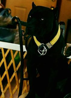 25 Best Black Pitbull Pictures is part of Pitbull puppies - Never trust your dog won't fight Still, these dogs are very hardy overall Big Dogs, I Love Dogs, Cute Dogs, Dogs And Puppies, Doggies, Giant Dogs, Baby Puppies, Chihuahua Dogs, Terrier Dogs