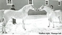 Raffles and Raseyn -- brothers Beautiful Arabian Horses, Welsh Pony, Arabian Stallions, Huge Dogs, Arabian Beauty, All The Pretty Horses, White Horses, Horse Farms, Horse Pictures