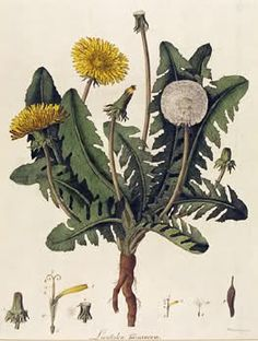 Dandelion from 'British and Foreign Flowering Plants and Ferns', c.1854 Even though it is cold, they are blooming in the yarden~ I have always loved them, these bits of sun