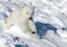 Jääkarhunpoika on keväthangilla täynnä energiaa - katso video Polar Bear, Finland, Emo, Sweet, Animals, Animales, Animaux, Emo Style, Animais