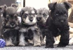 You feel like the Black Sheep of the family. | These Mini Schnauzers Will Solve All Of Your Problems