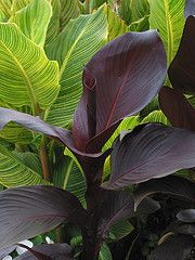 Tropicanna Black foliage (foreground) with Tropicanna Gold foliage in background.