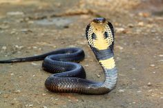 Worlds best unique animal facts. Below is a big list of cool animal facts that are random facts, weird facts, fun facts and interesting facts about animals. Fun Facts About Animals, Animal Facts, Funny Animal Names, Funny Animals, Zoo Animals, Beaux Serpents, Indian Cobra, King Cobra Snake, Tv Spielfilm