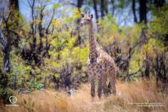 A giraffe in the Okavango Delta