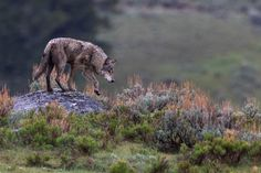 Gray Wolf Wildlife Photography Fine Art Nature by RobsWildlife