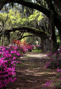 A shady arbor among the oaks and azaleas at the Magnolia Plantation & Gardens in Charleston, South Carolina