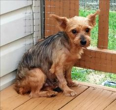 Sarah is an adoptable Yorkshire Terrier Yorkie searching for a forever family…